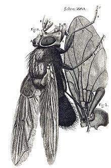 Hooke-bluefly